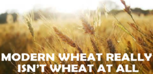 modern wheat dna chronic inflammation